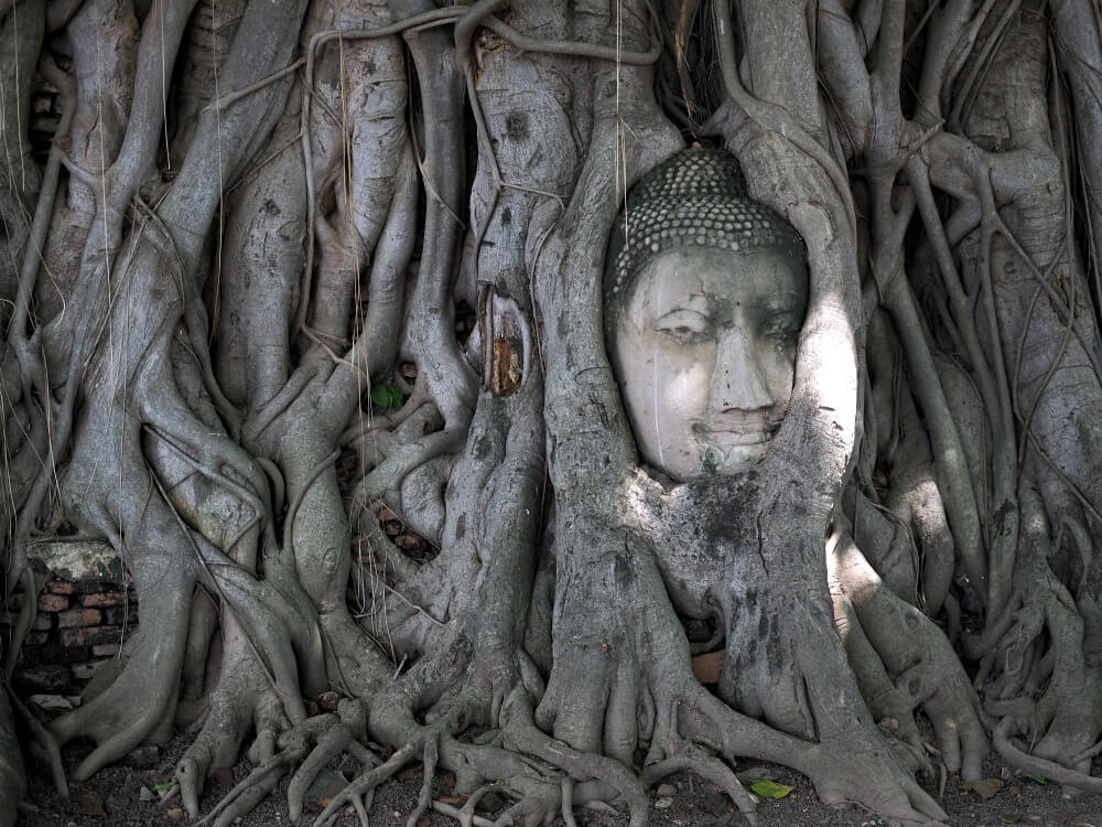 Buddha's head in a tree - Wat Mahathat