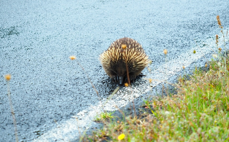 Echidna at Wilsons Prom