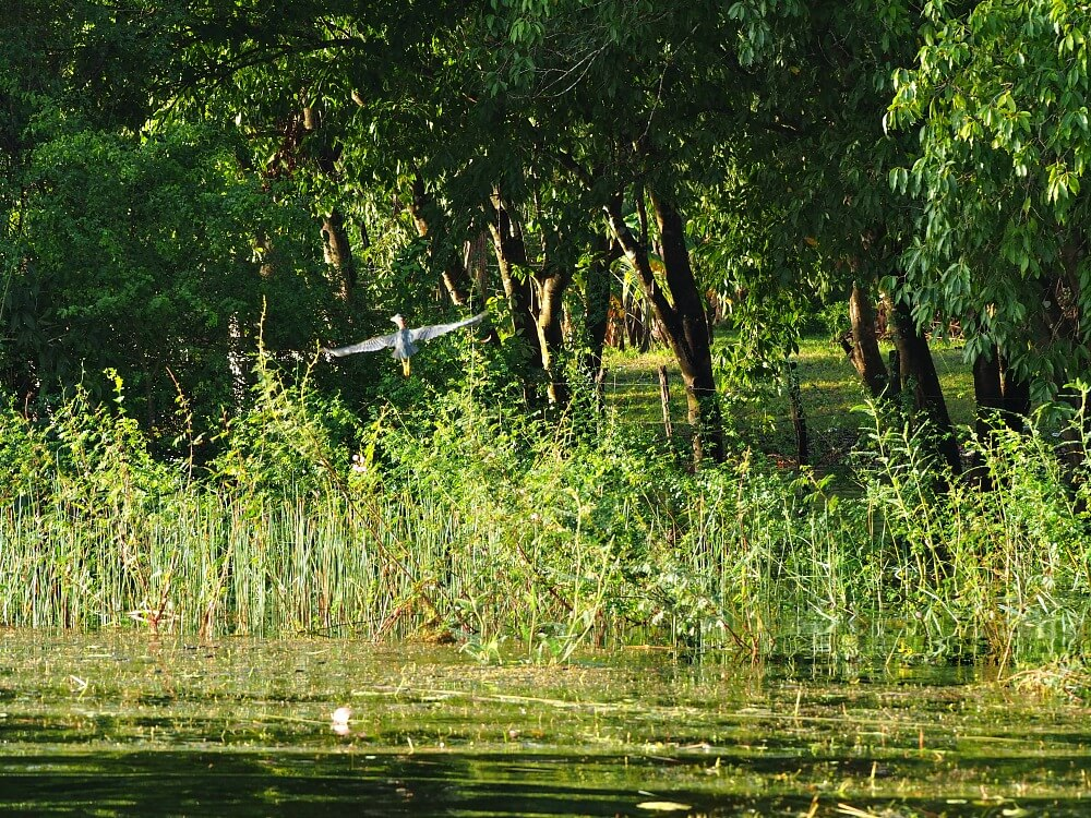Heron in flight over lagoon in Crooked Tree Belize