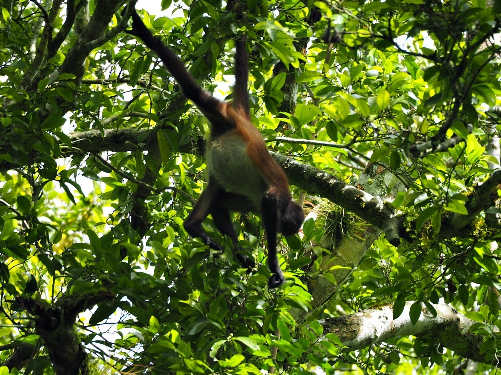 Tikal wildlife - a spider monkey
