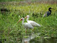 White Ibis in Crooked Tree Wildlife Sanctuary