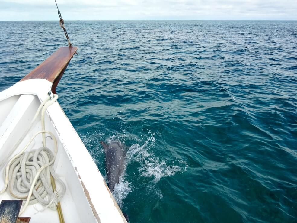 Dolphin swimming with boat in Caye Caulker