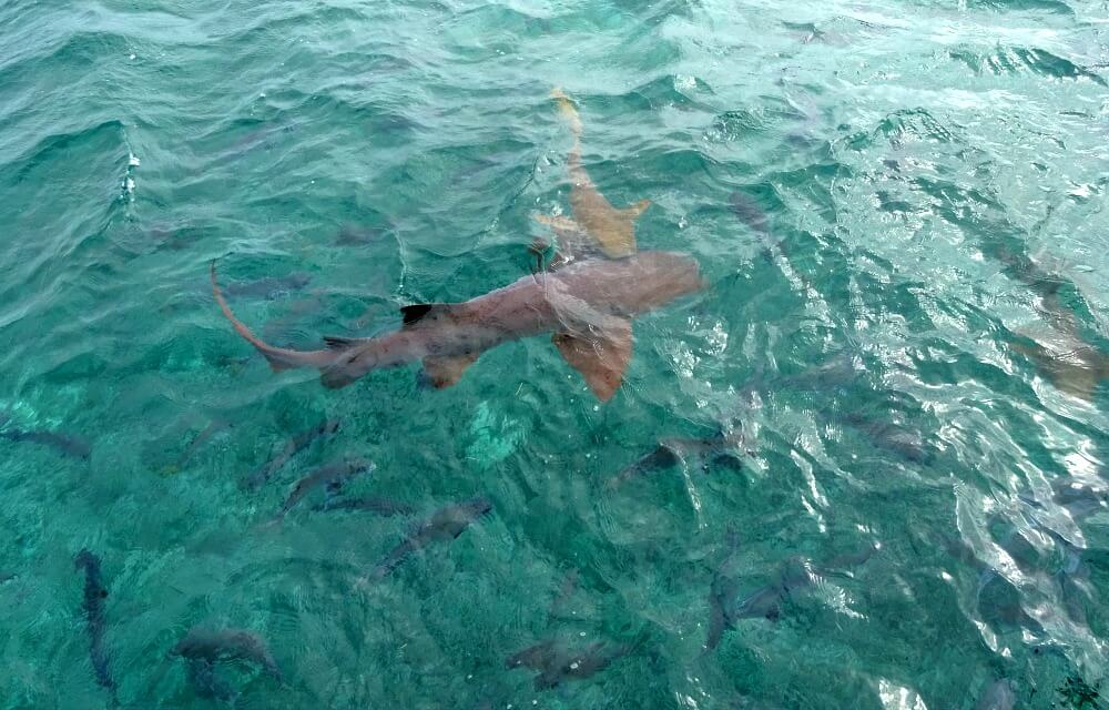 sharks in Belize